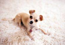 Chihuahua morto comodino