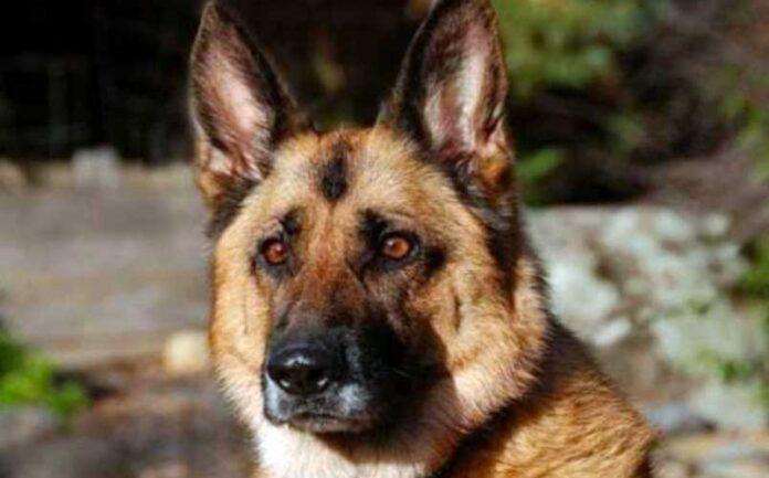cani inferociti uccidono pastore tedesco