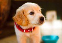 golden retriever cucciolo forchetta
