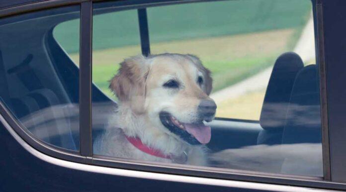 cani morti auto caldo
